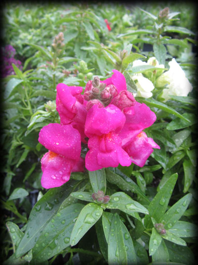 Snap Dragons can be withstand light frosts. They bloom well from May through June and will bloom again in September through October.